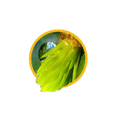 Масло «Сибирское» (масляный экстракт еловой лапки)