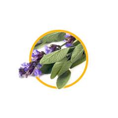 Экстракт листьев шалфея лекарственного