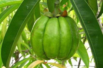 Плоды гарцинии камбоджийской