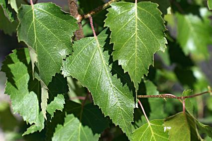 Листья березы повислой