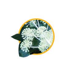 Экстракт аралии маньчжурской